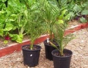 Three one year old, home-grown seedlings of Phoenix dactylifera 'Medjool';