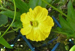 Luffa cylindrica worked by honeybee