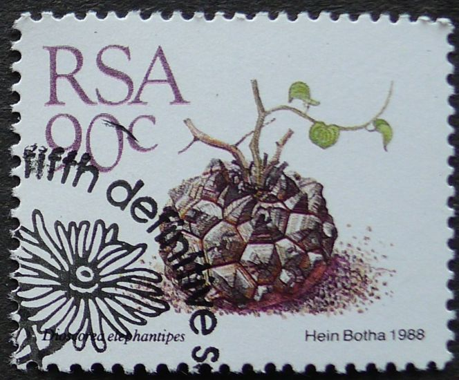 South Africa, Dioscorea elephantipes (syn. Testudinaria elephantipes), 1988