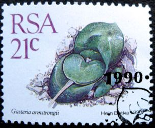 South Africa, Gasteria armstrongii, 1990