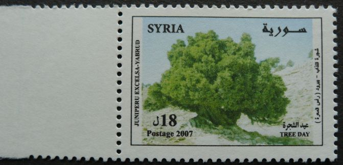 Syria, Tree Day, Juniperus excelsa, 2007