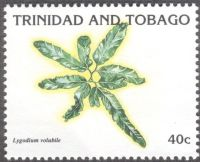 Trinidad & Tobago - ferns, Lygodium volubile