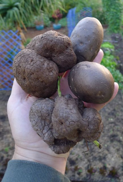 Tuberlings of two yams: Dioscorea alata (wrinkled, left) and D. bulbifera (smooth, right)