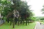 Grove of fishtail palms, Caryota sp.