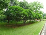Grove of frangipani, Plumeria alba. In Bangladesh, white frangipani are funeral flowers