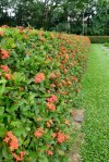 One of the finest Ixora hedges I have seen