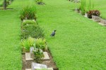 Indian Masked Crow, Corvus splendens