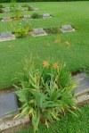 Iris domestica, syn. Belamcanda chinensis