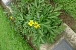 Possibly a species of Rudbeckia