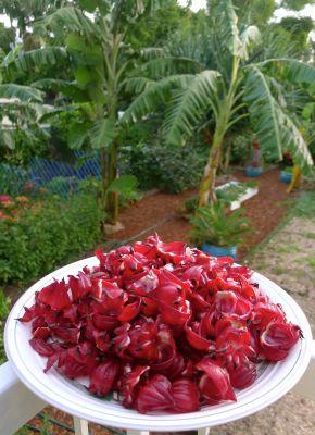 Rosella, Hibiscus sabdariffa