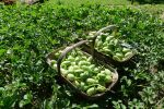 8.4kg of West Indian gherkin, Cucumis anguria