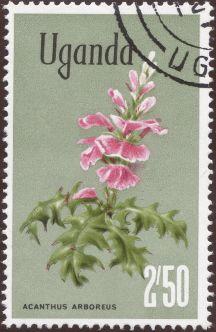 Uganda - Acanthus arboreus