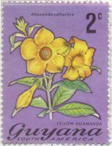 Guyana - Allamanda cathartica, Allamanda