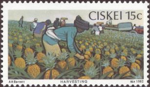 Ciskei - Ananas comosus - harvesting pineapples