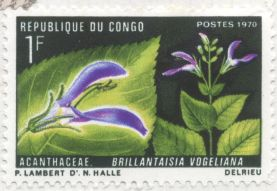 Congo - Brillantaisia vogeliana