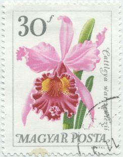 Hungary - Cattleia warzewiczii