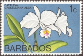 Barbados - Cattleya gaskelliana var. alba