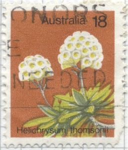 Australia - alpine flower, Cremnothamnus thomsonii