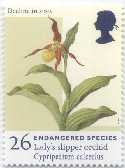 UK - Cypripedium calceolus, Lady's Slipper orchid