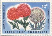 Rwanda - Echinopsis amplexicaulis & E. bequaertii