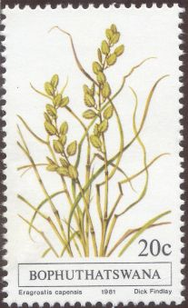 Bophuthatswana - Eragrostis capensis, Heart Seed Love Grass