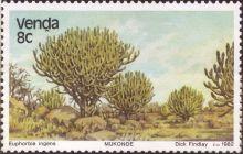 Venda - Euphorbia ingens, Candelabra tree