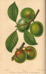 Greengage, Prunus domestica ssp. italica 'Reine Claude de Bavay' & 'McLaughlin'
