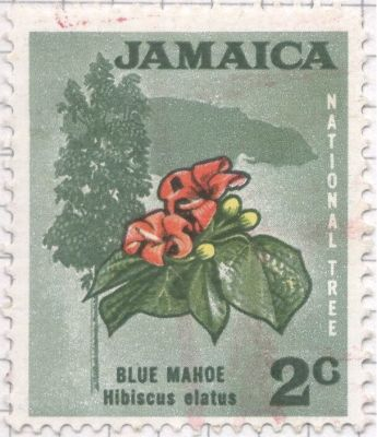 Jamaica - Hibiscus elatus, Blue Mahoe - National Tree