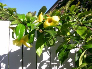 Allamanda cathartica, a slightly weedy Venezuelan vine. With vigilance it's manageable and flowers throughout the warm season