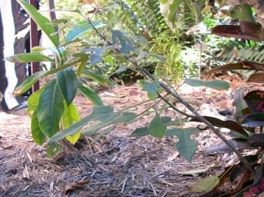 Brachychiton bidwillii in dry shade