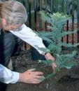 Jerry planting the first Wollemi Pine at Sydney Botanic Gardens