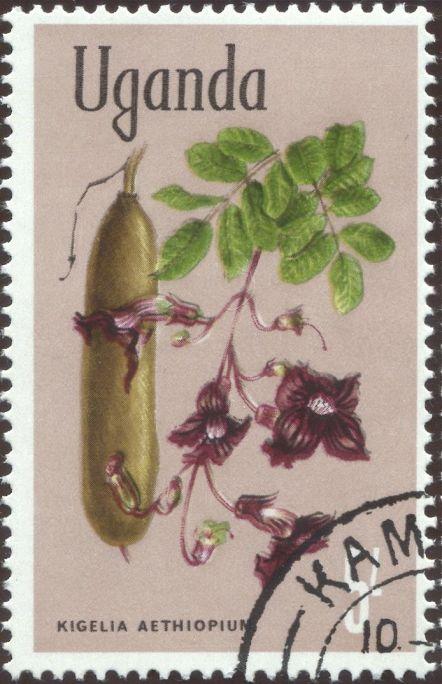 Uganda - Kigelia africana, Sausage tree