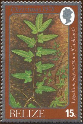 Belize - Lygodium polymorphum