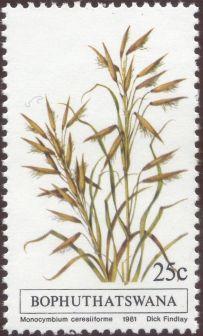 Bophuthatswana - Monocymbium ceresiiforme - grass