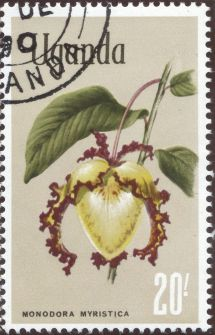 Uganda - Monodora myristica, Calabash Nutmeg