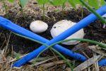 mushrooms, Agaricus bisporus, from spent compost