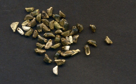 Teosinte, Zea mays subspecies mexicana A perennial form of corn, now extinct in the wild.