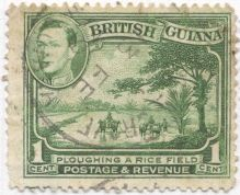 British Guyana - Oryza sativa, rice