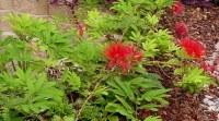 Calliandra heamatocephala, prostrate form, does well in Brisbane kerbside plantings