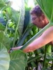 Harvesting Cocoyam March '06
