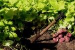 Golden sweetpotato, Ipomoea batatas 'Marguerite'