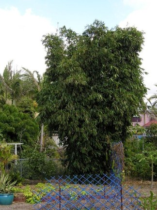 Oldham's bamboo, Bambusa oldhamii.