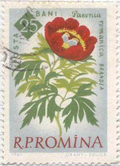 Romania - Paeonia peregrina var. romanica