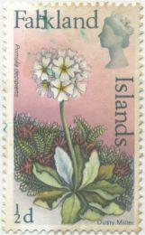 Falkland Islands - Primula decipiens