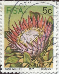 South Africa - Protea cynaroides, King Protea