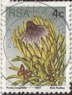 South Africa - Protea longifolia