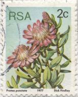 South Africa - Protea punctata, Water Sugarbush