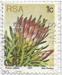 South Africa - Protea repens, Common Sugarbush