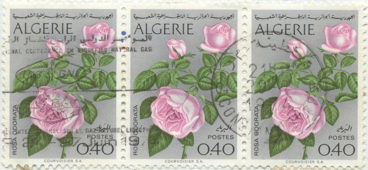 Algeria - Rosa odorata