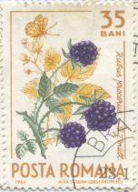 Romania - Rubus armeniacus